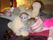 прекрасный  капуцин обезьяна для принятия