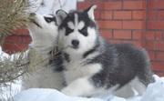 две прекрасные сибирские хаски щенки мужчина и женщина